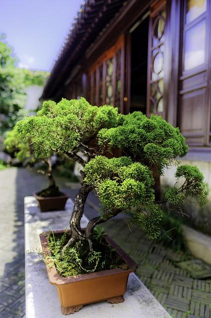 Sosna bonsai w domu