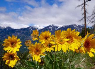 Moc prosto z natury: Arnica montana
